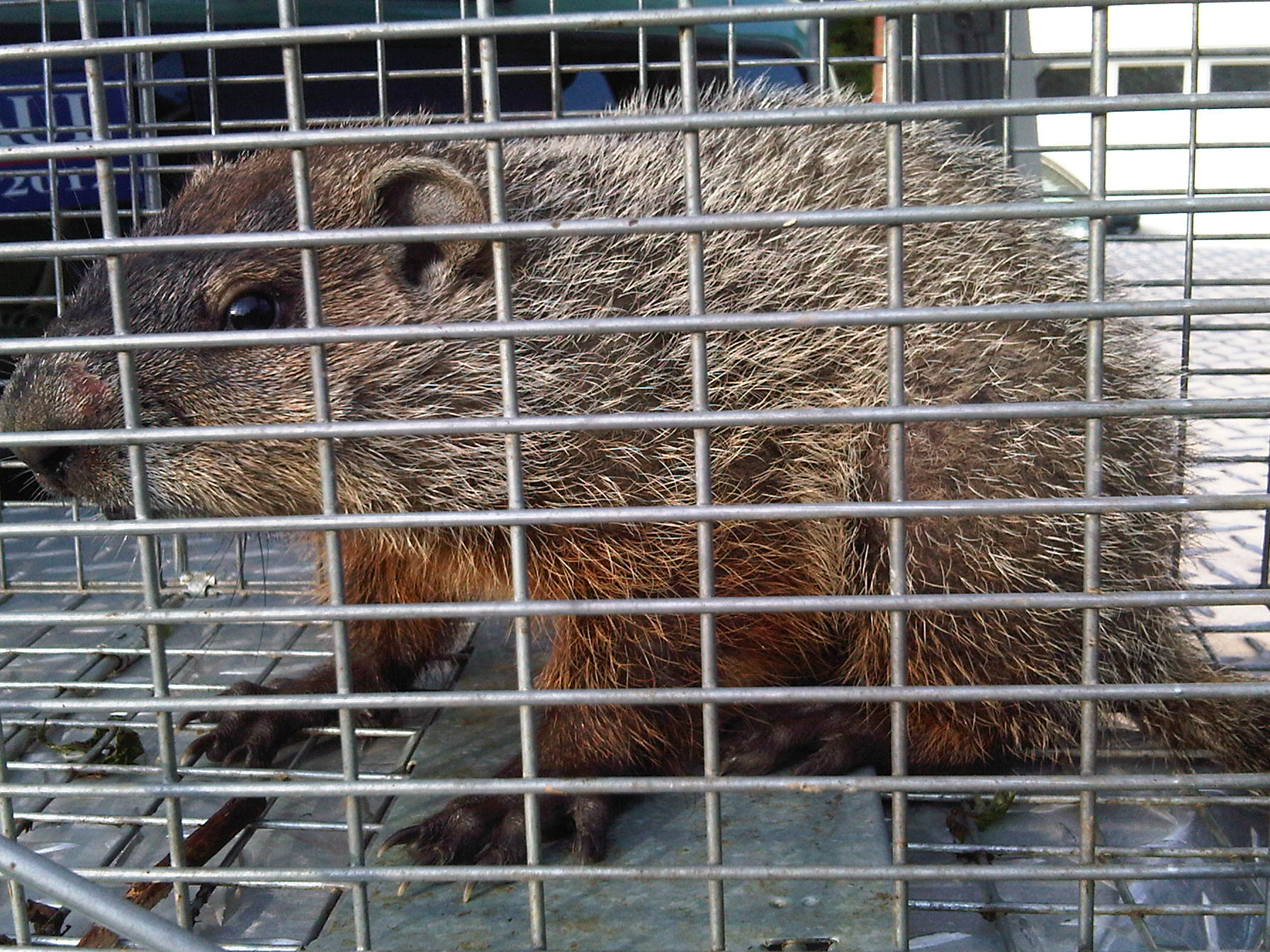 New jersey groundhog trapping and removal - Garden state veterinary services ...